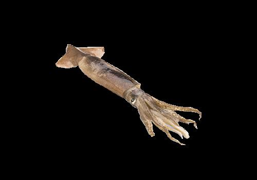 Shortfin Squid